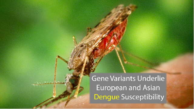 European and Asian Susceptibility to Dengue Due to Gene Variants