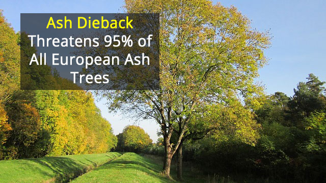 European Ash Epidemic From Just One or Two Spores
