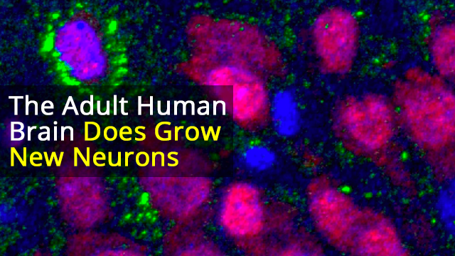 Even Old Brains Can Make New Neurons, Study Finds