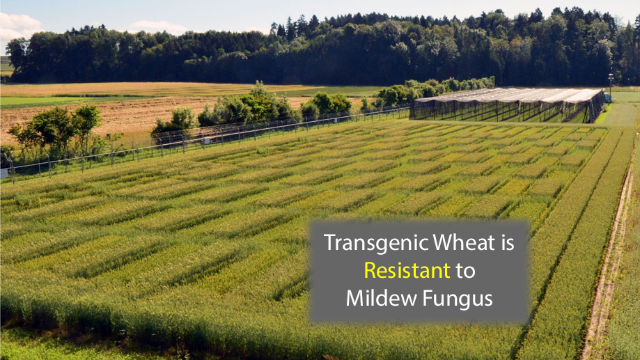 Extra-Resistant Wheat is Created From  New Gene Combination