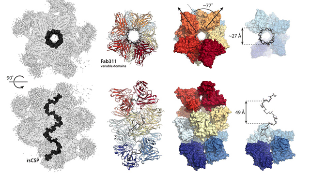 Fascinating Antibody Interactions Provide Insights for Malaria Vaccine Design