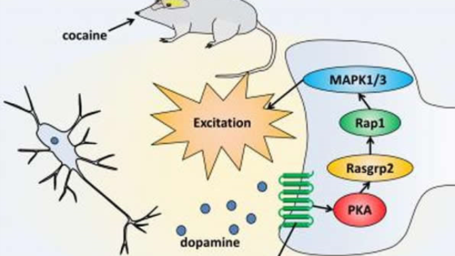 Dopamine signaling pathway that controls cocaine reward in mice identified