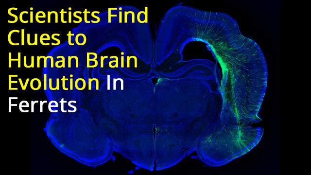 Ferreting-Out Clues to Brain Evolution: Aspm KO Ferret reveals evolutionary mechanism governing brain size