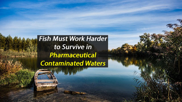 Fish Must Work Harder to Survive in Pharmaceutical-Contaminated Waters