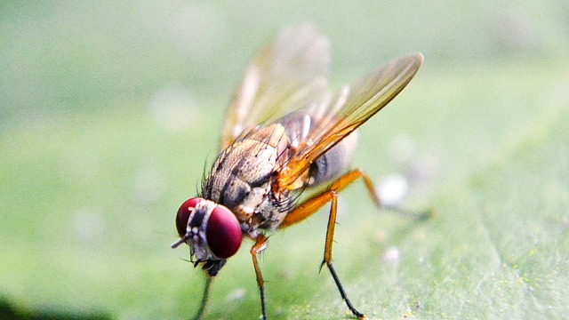 Fruit Flies Farm their own Probiotics