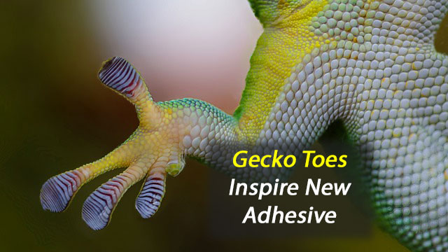 Gecko Toes Inspire New Adhesive