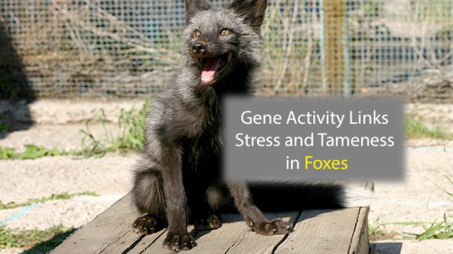 Gene Activity Links Stress and Tameness in Foxes