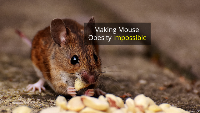 "Gene Change Prevents Obesity in Mice Fed ""Burgers and Pizza"" Diet"