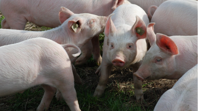 Gene-edited Pigs are Resistant to Billion-dollar Virus