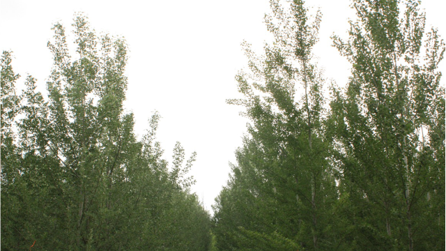 Genetic Engineering Can Stop Poplar Trees Spreading