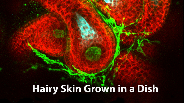 Hairy Skin Grown from Mouse Stem Cells