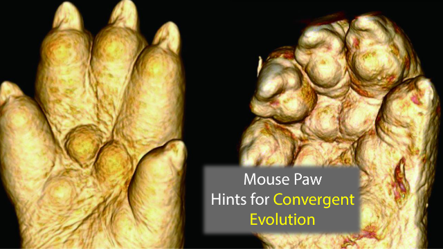 Hammer Toe Mice Genes Highlight Evolutionary Adaptations