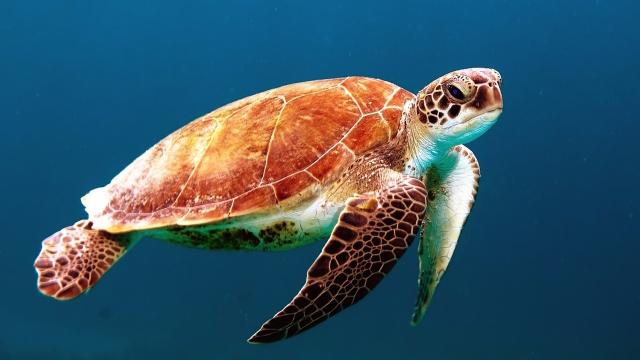 High Levels of Metals Found in Queensland Turtle Blood