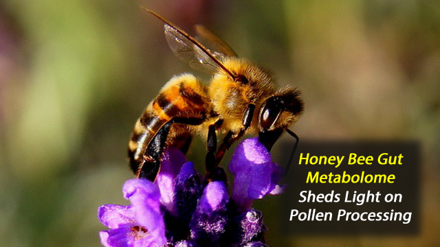 Honey Bee Gut Metabolome Reveals How They Cope With a Pollen Rich Diet