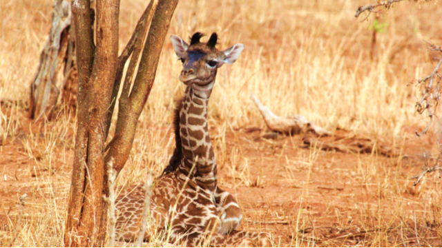 How Baby Giraffes Inherit Their Spots