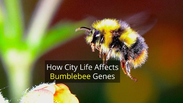 How City Life Has Changed the Bumblebee Genome