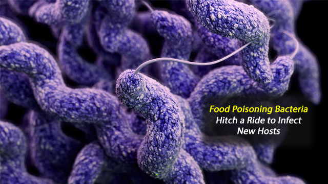 How Food Poisoning Bacteria Campylobacter Uses Other Organisms as Trojan Horse to Infect New Hosts