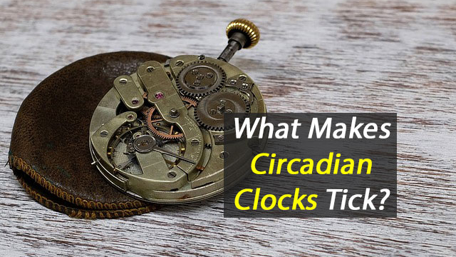 How Proteins Shape-Shift By the Hour is Central to Figuring Out How Circadian Clocks Work