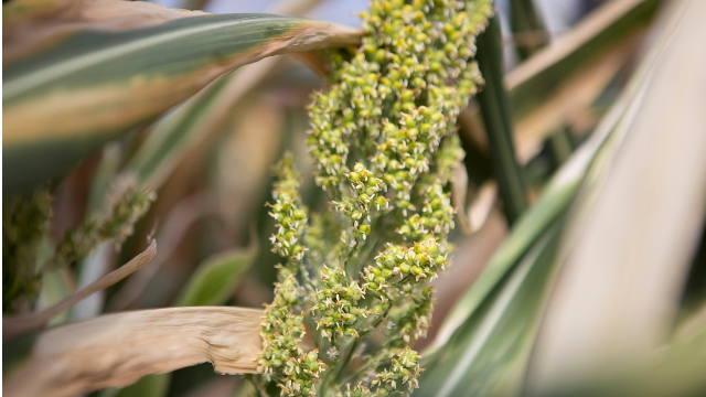 HudsonAlpha to Expand Sorghum Research Program