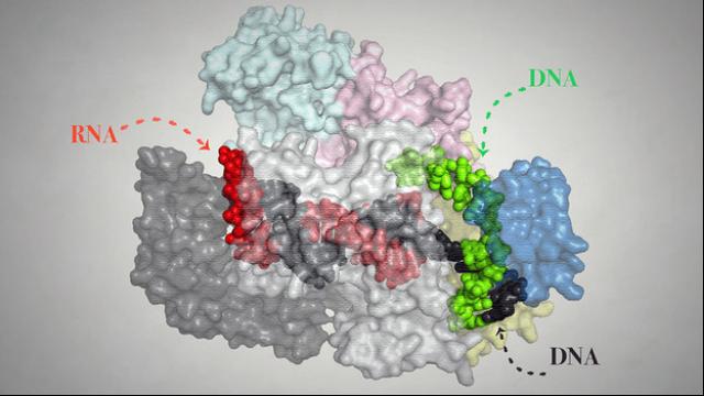 Improving Genome Editing: CRISPR Cpf1 mechanism visualized