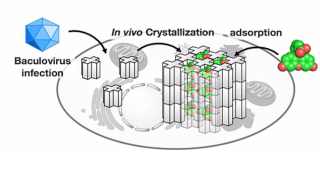 In Cell Molecular Sieve From Protein Crystal