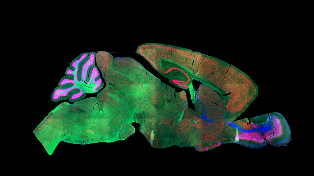 """In-Depth Analysis Sorts Mouse Cortex into 133 """"Cell Types"""""""