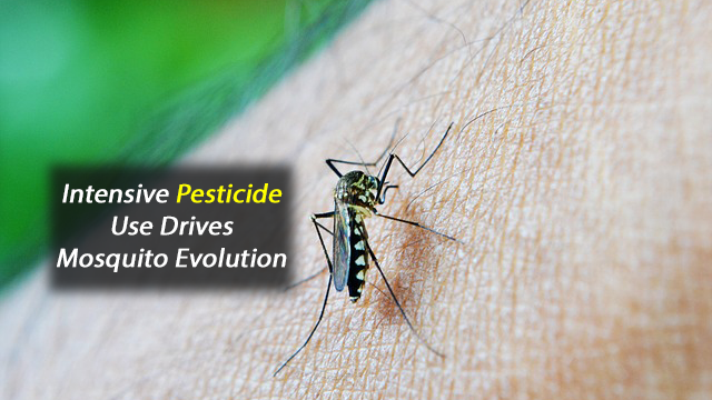 Intensive Pesticide Use is Driving Mosquito Evolution at the Genetic Level