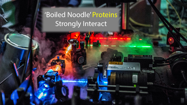 Interaction Mechanism for 'Boiled Noodle' Proteins Identified