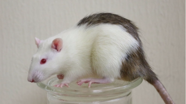 Interspecies Transplantation to Reverse Diabetes