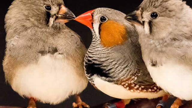 Study reveals how birds learn through imitation