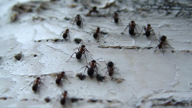 Honeybees, ants may provide clues to suicide in humans