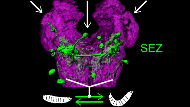 Cracking the function of the fly olfactory system to understand how neural circuits work