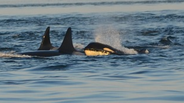 Killer Whales Threatened by Long-Banned PCB