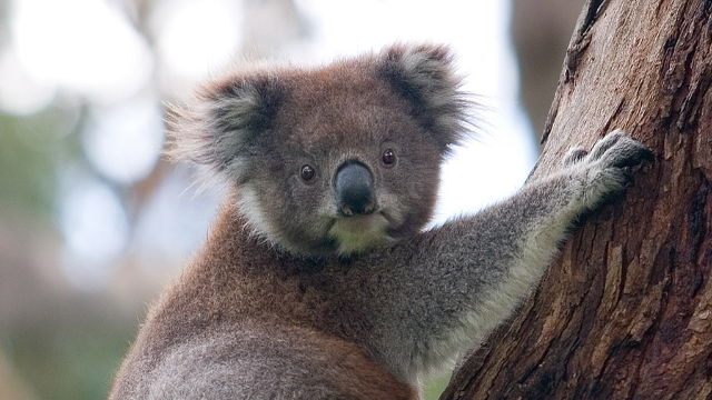 Koala Genome Sequenced for First Time