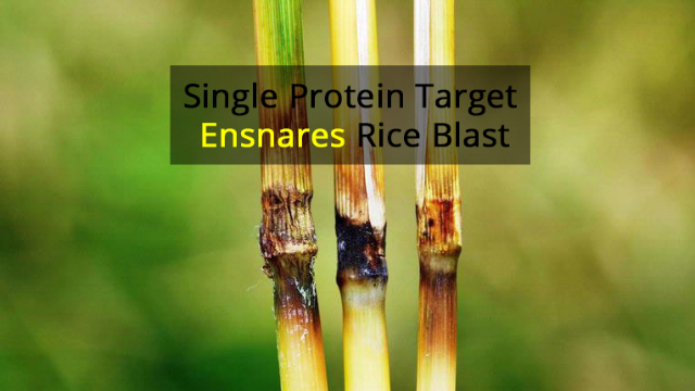 Laying a Cellular Trap for Rice Blast