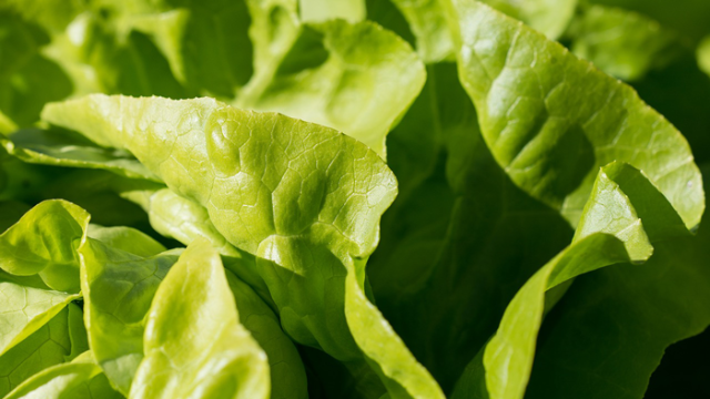 Listeria Can Hide Inside Romaine Lettuce Tissue