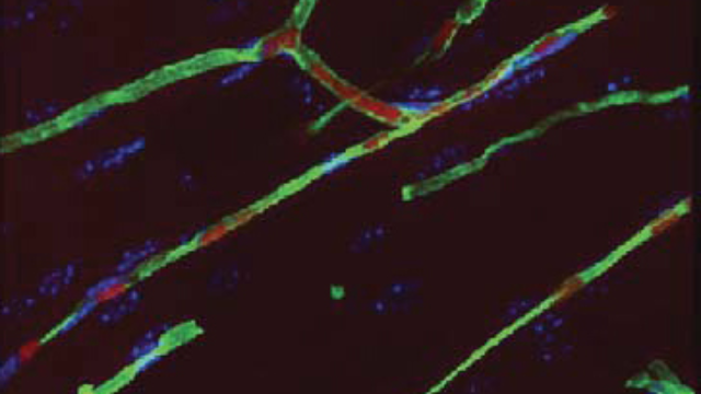 Long-lasting Blood Vessel Repair in Animals Via Stem Cells