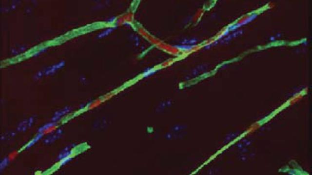 Long-lasting Blood Vessel Repair in Animals Via Stem Cells