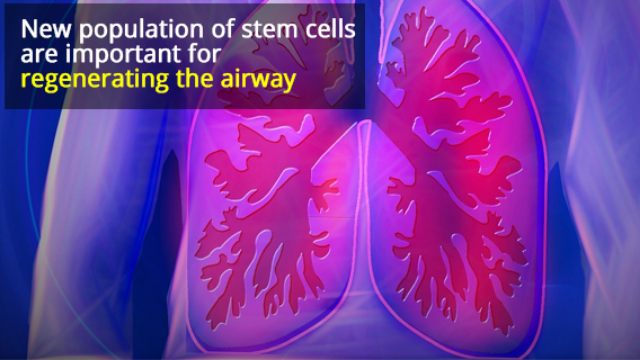 Lung Stem Cells Repair Airways After Injury
