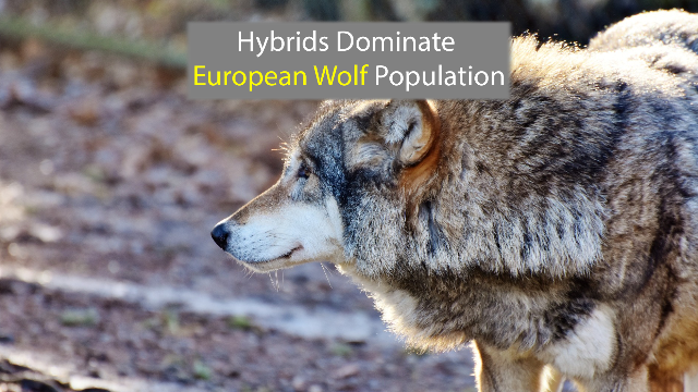 Majority of European Wolves Have Dog DNA