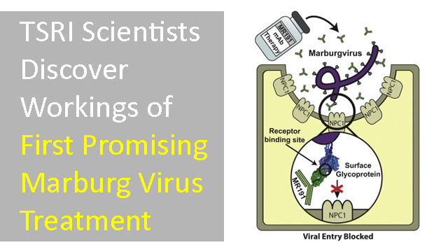Marburg Virus: Workings of the First Promising Treatment Revealed