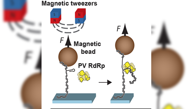 "Mechanism of New Antiviral Drug Class Identified Using ""Magnetic Tweezers"""