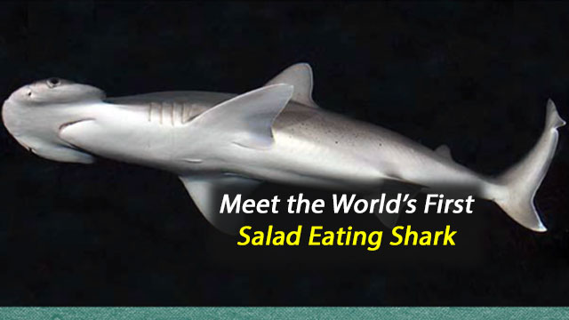 Meet the World's First Salad-Eating Shark