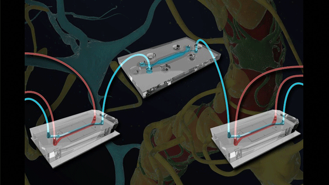 Microfluidically-linked BBB and Brain-chips Opens Another Dimension for Neurological Research