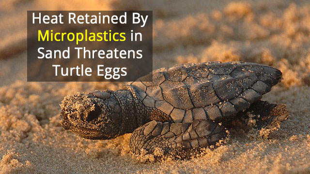 Microplastic Pollution Threatens Sea Turtle Nesting