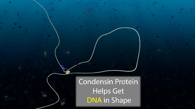 Microscopic Movie Shows How DNA Gets in Shape