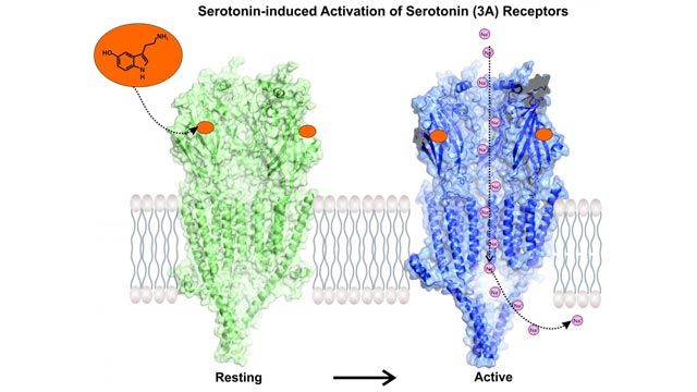 Microscopy Reveals Serotonin Receptor in Action