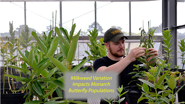 Milkweed Varies in Nutrition and Nice, Tasty Cardenolides
