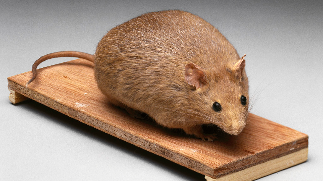 Mouse Study Suggests That Dietary Fat, Not Carbs, Drives Obesity