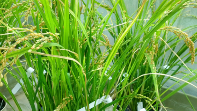 Multi-nutrient Rice to Fight Malnutrition